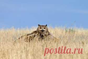 Филин — National Geographic Россия Филин Bubo bubo