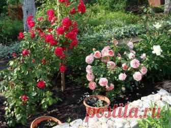 Подкормка для роз | 6 соток