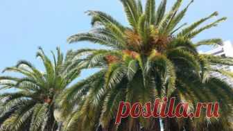 Выращивание и уход за финиковой пальмой в домашних условиях. Как растет финик из косточки? Какой грунт нужен. Пересадка пальмы