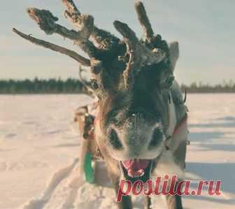 Olen-ulybaka from Lapland