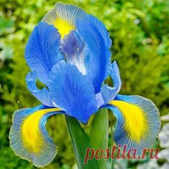 Mystic Beauty Dutch Iris | Brecks.com