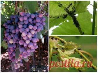 Чем обработать тлю на винограде