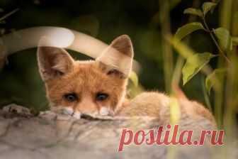 Канадец стал свидетелем охоты дикой лисы на дереве