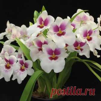 Орхидеи мильтония, мильтониопсис и мильтассия в домашних условиях: фото, уход и содержание, пересадка орхидей