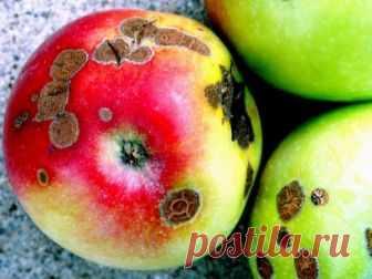 Лечим яблоню от парши!
