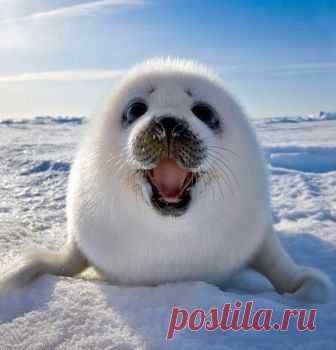 Улыбающийся гренландский тюлень