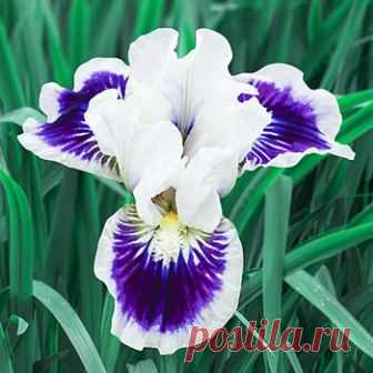 Fall Sale Catalogue - Riveting Dwarf Bearded Iris
