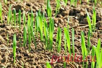 Кипяток для дружных всходов  Каждый огородник знает, как порой бывает сложно добиться всходов от некоторых растений. Особой туговсхожестью отличаются семена пряно-ароматических культур и душистых цветов. Такие пахучие культуры н…