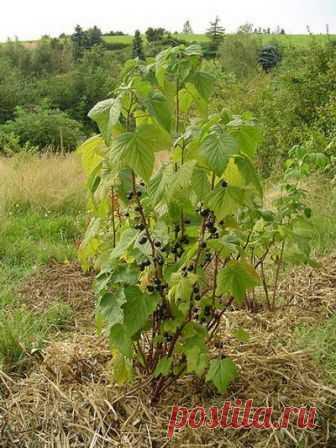 ОБРЕЗКА ЧЕРНОЙ СМОРОДИНЫ ОБРЕЗКА ЧЕРНОЙ СМОРОДИНЫ производится немного иначе, чем красной и белой, так как черная смородина плодоносит в основном на однолетнем приросте. Больше всего крупных ягод собирают с однолетних боковых приростов, размещенных …
