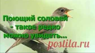 The singing nightingale! Seldom it can be seen...... Enjoy)))