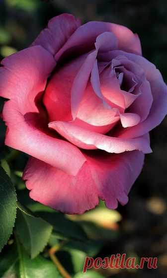 Изумительно красивая роза...