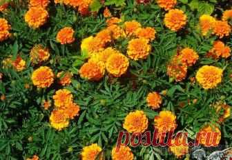 Barkhattsa: cultivation and Barkhattsa's (Tagetes) leaving or chornobryvets – the first overseas blossoming plants which appeared in the 16th century in Russia. These grassy odnoletnik and perennials from Astrov' family contain nearly 40 times...