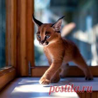 Cub of the house caracal
