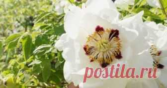 Древовидные пионы – посадка и уход Древовидный пион – эффектный листопадный кустарник, который в высоту может достигать 2 м. Но чтобы вырастить этот красивый цветок, нужно правильно посадить саженец и грамотно за ним ухаживать.