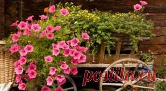 Когда сеять петунию на рассаду в 2018 году по лунному календарю? Петуния растение не новое, но селекционеры вдохнули в это растение новые краски и формы, и она завоевала весь мир. Однажды увидев подвесные корзины или цветущие ковры, цветоводы немедленно начинают интересоваться красавицей и выяснять, когда сажать петунью на рассаду в 2018 году. Чтобы определиться со сроками посевов, необходимо учесть, что от момента всходов до цветения проходит 90 дней. Её можно посеять пря...