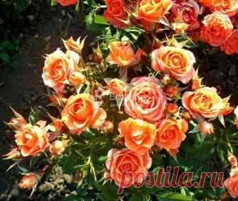 Особенности посадки, выращивание и уход за садовыми розами в саду Как правильно подготовить почву и саженцы для посадки роз у себя в саду и как выбрать правильное место и время. Особенности полива и опрыскивания роз