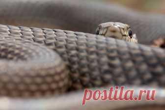 Застенчивый полоз — National Geographic Россия Желтобрюхий полоз, Астраханская область.