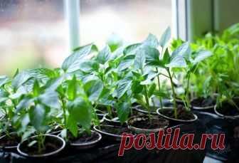 Рассадная считалочка для чайников Как правильно выбрать время для посадки семян В этом году выращивать овощи на своих шести сотках собираются даже те, кто никогда не копался в земле. Что поделаешь — кризис! Конечно, …