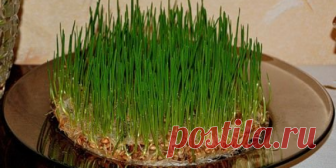 Проросшая пшеница для похудения | Описания диеты, меню для похудения с рецептами, результаты и отзывы