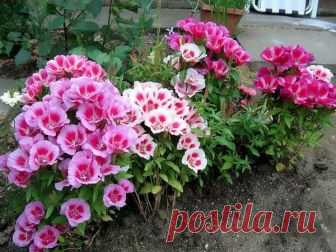 5 цветов-однолетников с фото, которые можно сеять под зиму   Секреты садоводства   Яндекс Дзен