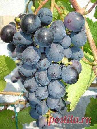 Если виноград поврежден морозами