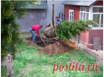 Какие деревья нельзя сажать на даче? - Сад и огород