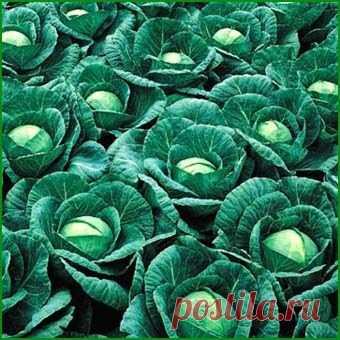 Капуста белокочанная Ринда F1 (Rinda)  2500 штук - цены, купить семена в Минске, доставка почтой по Беларуси