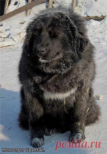 Чарка - монгольская АПчарка. Зима.