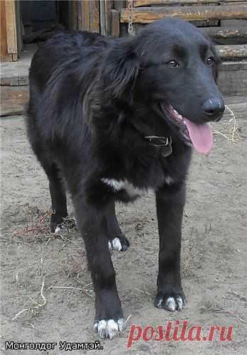 Чарка - монгольская  АПчарка. 7 мес.