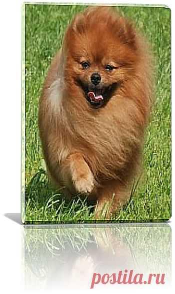 В жизни данная порода собак представляет из себя веселую, жизнерадостную небольшую собачку, которая в равной степени нормально приспосабливается к проживанию и в многоквартирном доме, а так может прекрасно жить в большом коттедже, позиционирующая в роли «диванной собачки» или играющая в небольшом приусадебном дворике.