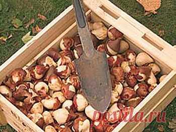Посадка тюльпанов осенью в самые подходящие сроки с учетом всех нюансов.