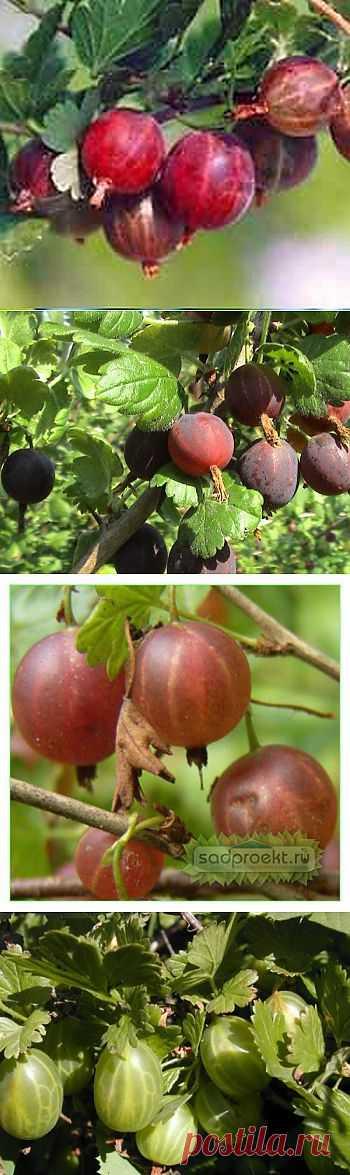 (+1) тема - Крыжовник – ягода урожайная | 6 соток