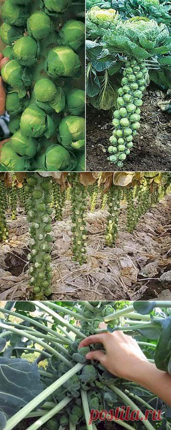 Брюссельская капуста на грядке: выращивание рассады, посадка и уход | Дача - впрок