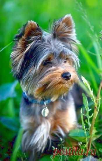 Short hair on face Yorkshire terrier