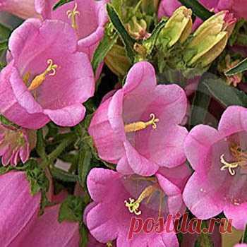 Canterbury Bell Seeds - Campanula Medium Rose Flower Seeds