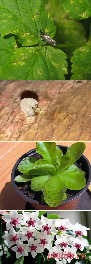 Почему мошки заводятся в цветочных горшках, как от них избавиться | Дача - впрок