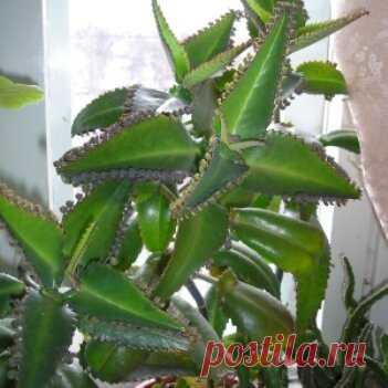 Лечебные свойства каланхоэ перистое. Лечение варикозного расширения вен настойкой каланхоэ.
