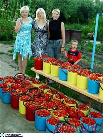 Обмен опытом: выращивание садовой земляники (клубники)..