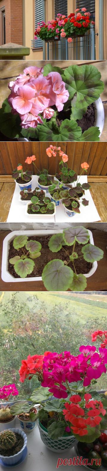 Как вырастить пеларгонию из семян? | Растения