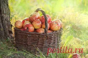Опавшие яблоки – отличное удобрение. Тонкости и правила приготовления великолепной подкормки   Даже при тщательном сборе урожая яблок – все не собрать. Часть яблок падает и остается на земле. Опытные огородники из этой падалицы приготавливают отличное удобрение. О способах и правилах использо…