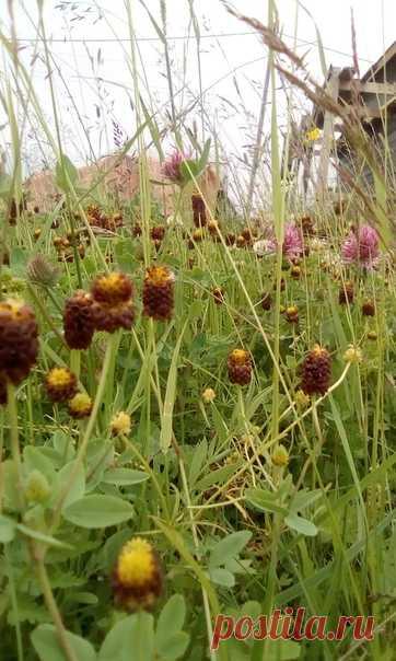 Здравствуйте. Не могу найти информацию, что за цветок вырос на участке . Растет полянками практически круглыми .