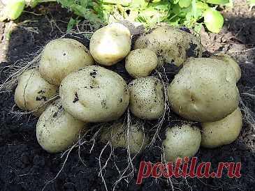 Выращивание картофеля по методу Л. П. Квартальновой.