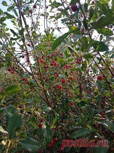 Как получить хороший урожай вишни У нас на приусадебном участке растут 6 деревьев вишни. В этом году урожай небывалый, только успевай собирать. Мы уже собрали 4 ведра, но это еще не все. Ягоды постепенно доспевают, так что будет еще...