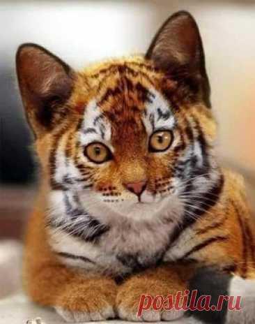 """Team Of Zina Portnova on Twitter: """"Тойгер (от англ. toy — «игрушка» и англ. tiger — тигр) — порода короткошерстных домашних кошек, напоминающих игрушечных тигров. Она выведена в США в конце 1980-х годов. В 1993 году получила регистрацию, в 2000 году — статус новой породы, а в 2007 — полные выставочные права. https://t.co/B4keIv4tvd"""" / Twitter"""