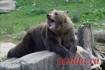 К чему снится медведица по соннику | Сонник-снов