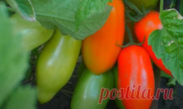 Чтобы помидоры были огромными | БЛОГ ДАЧНИЦЫ | Яндекс Дзен