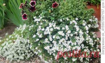 Бакопа: выращивание из семян, уход за рассадой, пересадка, цветение