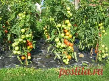 "(1) ""Не ожидал такого интереса к моим помидорам""! - Огород, сад, балкон - медиаплатформа МирТесен"