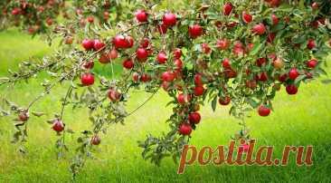 Правильная посадка яблони: подробная инструкция от выбора саженца до ухода за деревом В нашем материале — гид для садовода, который хочет посадить яблоневое дерево. Мы расскажем, как выбрать место, саженец, как пересадить его и дать ему прижиться.