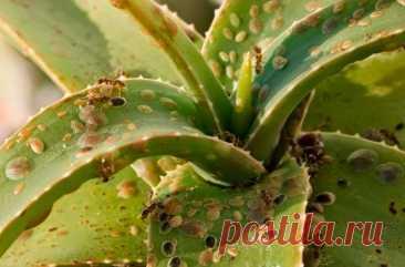 Как избавиться от вредителей, напавших на комнатные растения Цветы, которые выращиваются в комнатных условиях, реже атакуются вредителями, чем те, которые растут на участке. Но и они могут заразиться от старой почвы или новых экземпляров, которые вы приносите д...